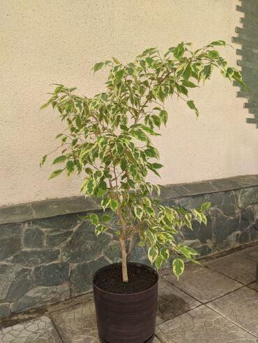 4140 объявлений: Продаю цветок Фикус. Красивое растение, которое украсит
