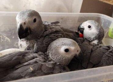 Попугаи Жако, выкормыши, окольцованы, уже хорошо пытаются говорить, по