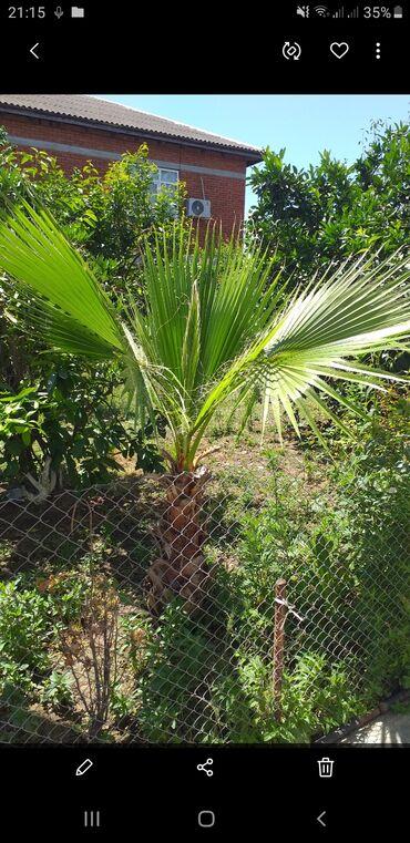 Otaq bitkiləri - Masallı: Palma
