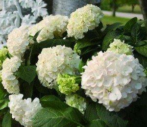 садовые многолетние цветы: гортензия, очиток, канны, брунера, примула, в Бишкек