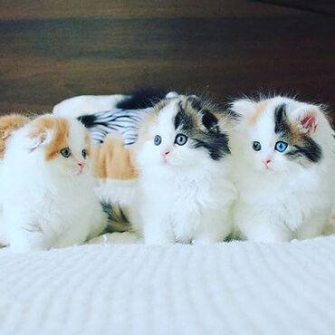 Σκωτσέζικα γατάκια fold Αξιολάτρευτα γατάκια έτοιμα να γίνουν μέλη της