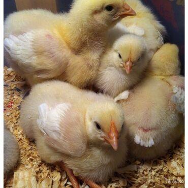jubka na vysokoj posadke в Кыргызстан: Продаю цыплят бройлеров 3 суточные Арбор акрос