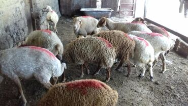 zhenskie yubki so shleifom в Азербайджан: 8 baw cavan qoyun 4.baw quzu si erket 2 so diwidi quzularin 12 bawdi