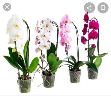 Орхидея алам кимдики солуп оруп жатса кимге кереги жок болсо алам