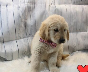 Amazing Golden Retriever available for re~homing