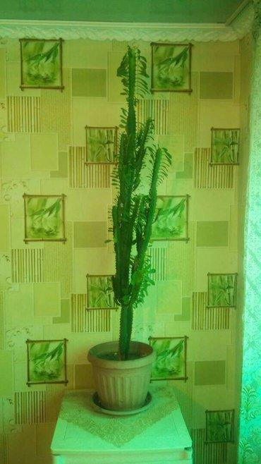 продаю кактус. и фикус. в любом месте будет смотреться  в Бишкек