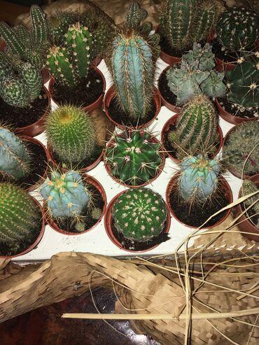 Kuća i bašta - Irig: Kućni Kaktus Lak Za Održavanje (komad)
