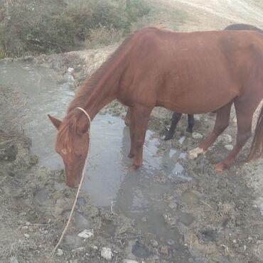 9 elan   HEYVANLAR: At özmündi hər gün sürəm altında balası var həmdə boğazdır boş boş