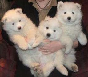 Lovely Samoyed Pups Fully Health Tested σε Ithaca