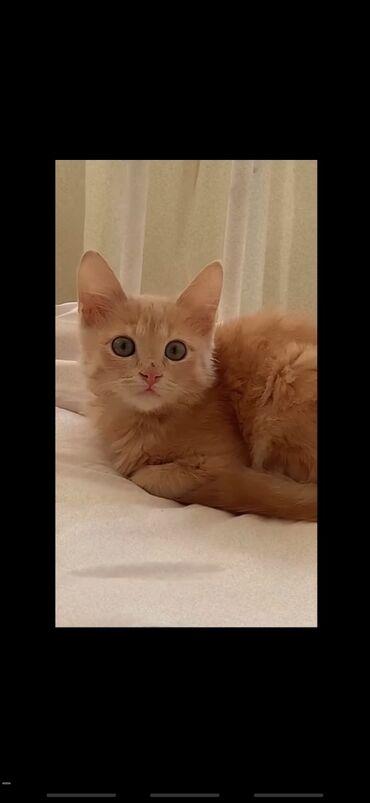 стерилизовать кошку в Кыргызстан: Продаю кошку, мальчик, 7 месяцев