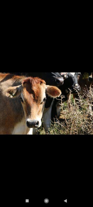 25 объявлений | ЖИВОТНЫЕ: Куплю | Коровы, быки | Самовывоз