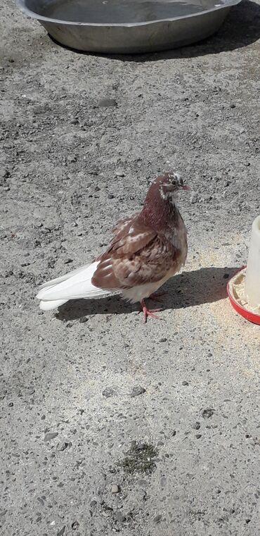 Salam hervaxdiniz xeyir olsun inşallah bu kuşu kulekte qacirtmişam