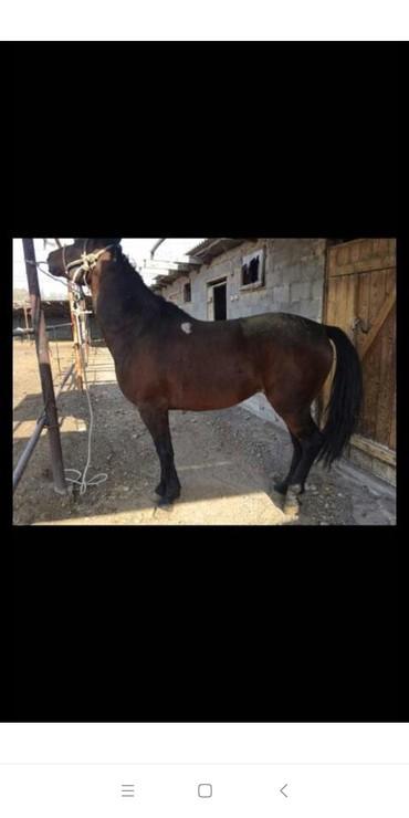 животн в Кыргызстан: Айгыр сатылат, Тельторунун баласы, Продаю лошадь, сын Тельтору