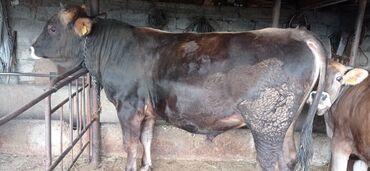 Животные - Тюп: Продаётся бык