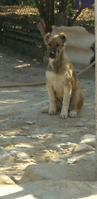 canavar - Azərbaycan: 3aylıq dişi kanqal küçük atasının anasının şekili var atası bed yaxşı