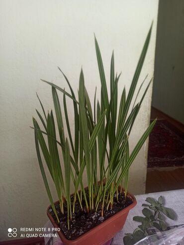 149 объявлений: Финиковые пальмы маленькие по 250сомов за 1штуку, большие 350сомов