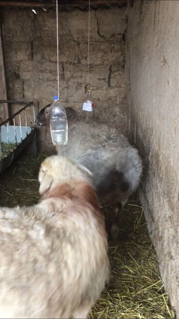 Продаю | Овца (самка) | Эдильбаевская | Для разведения | Матка