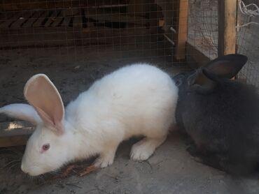 белый opel в Ак-Джол: Белый самец серая самка обеим по 2 месяца село Озёрное возле школы одн