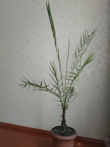 Финиковая пальма 8 лет .Очень красиво в Бишкек