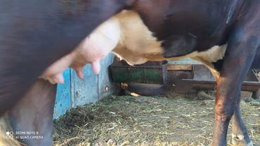 Животные - Токмок: Продаю | Корова (самка) | Голштин, Швицкая | Для разведения, Для молока | Племенные, Стельные, Искусственник
