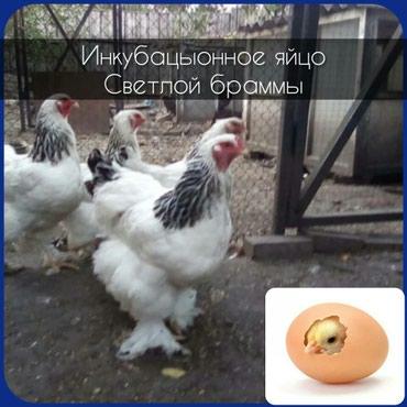 Инкубационное яйцо светлой брамы, вся птица чистопородная на фото