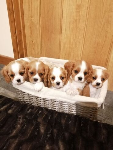 Kc Registered Cavalier King Charles Spaniel puppies for saleWe have