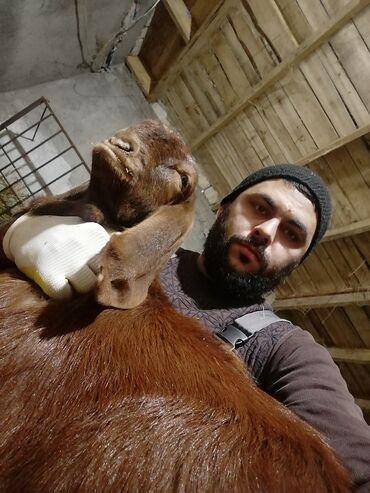 Tap a - Azərbaycan: Super tap saf qan Hələb keçiləri satılır 3 ana iki dişi bala ilə