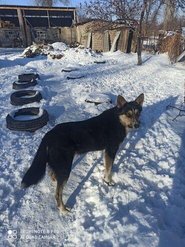 сибирский ель в Кыргызстан: Хороший друг. Послушный. Самый лучший охотник.  Порода восточно-сибирс