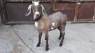 10920 объявлений: Продаю   Коза (самка)   Нубийская   Для разведения   Племенные