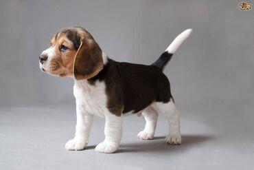 Κουτάβια BeagleΠώληση αξιολάτρευτων κουταβιών BeagleΧαριτωμένα και