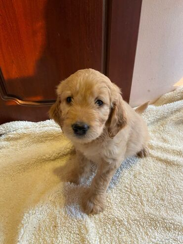 Goldendoodle Puppies For AdoptionWhatsApp me +33 Goldendoodle Puppies