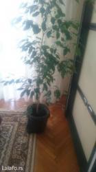 Ostalo za kuću | Pozarevac: Cveće sobno, bendžamen, 1,60 m, prelepo