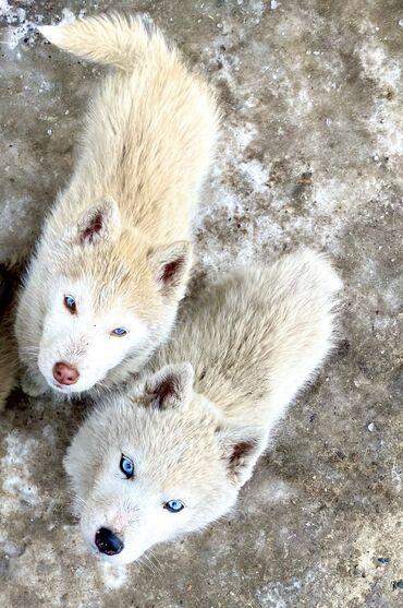 мама мама в Кыргызстан: Продаю щенят сибирской хаски: -чистокровные хаски ( мама бежевого окра