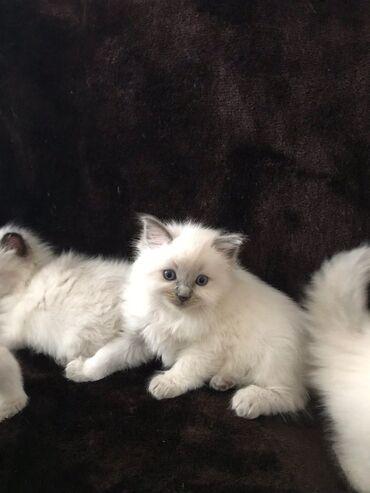 Γατάκια Ragdoll προς πώληση !! Όμορφα γατάκια ragdoll από αγαπημένα οι