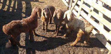 С/х животные - Кыргызстан: Продаю | Овца (самка) | Для разведения