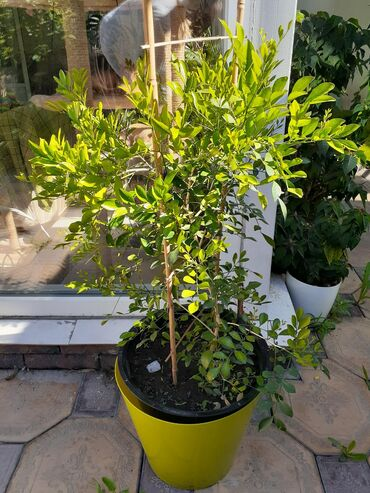 Продаю мурраю, растение японских императоров, цветёт, шикарный