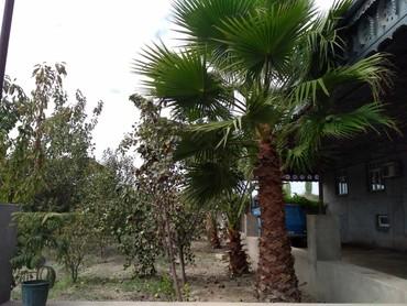 Otaq bitkiləri Hacıqabulda: Vasikton palmasi