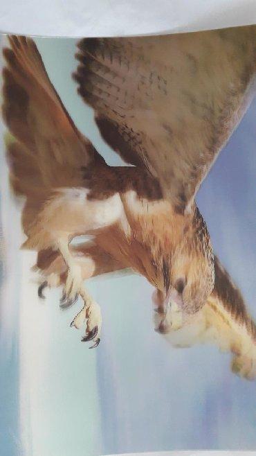 ширма недорого в Азербайджан: Картина -орёл. Недорого. 2 AZN