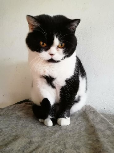 метис персидской кошки в Кыргызстан: Молодые шотландские прямоухие кошки в добрые руки бесплатно