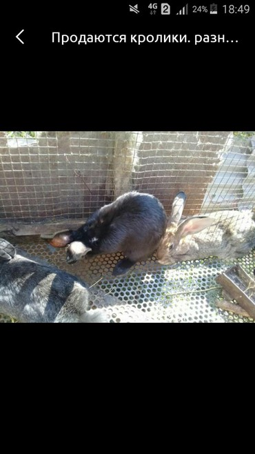 шуба кроликовая в Кыргызстан: Продаю кроликов 3 месечных парода француский баран и бабочка осталось