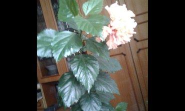 Китайская роза(гибискус) цвет необычный персиковый. Мкрн Кок Жар. в Бишкек