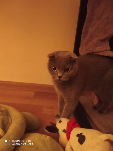 Продаю шотландскую котенка, возраст 8 месяцев, без документовИдеальна