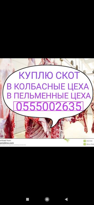 животн в Кыргызстан: Куплю скот забитый или на забой в любой упитанности в любое время