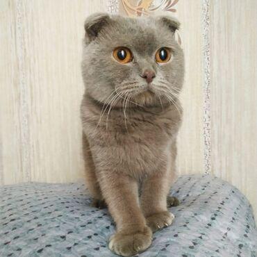 вислоухий шотландец котенок в Азербайджан: Шотланский котенок мальчик 7 месяцев