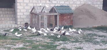 Salam əla göyerçi̇nlərdi̇r seçmə quşlar.Hamsi̇ bi̇rli̇kde sati̇li̇r
