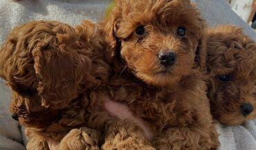 Λατρευτά κουτάβια poodle που αναζητούν για πάντα σπίτια. Η μητέρα είνα