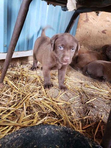 Psički Labrador Retriever Pripravljeni za prodajo.Ljubki registrirani