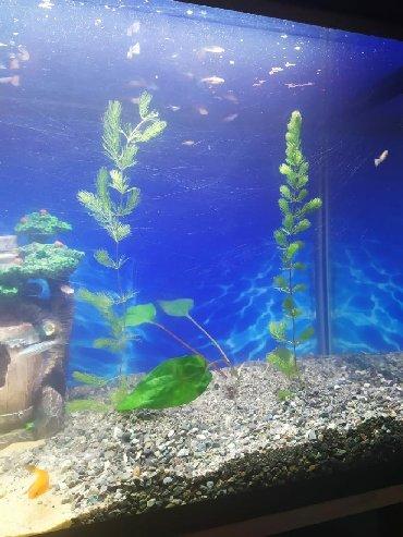 balıq ovu - Azərbaycan: Akvarium metresi 1.20 icide hersey verilir tecilisatilir baliqlarla