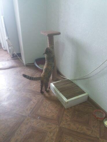 лоток для кошек бишкек in Кыргызстан | ЗООТОВАРЫ: Когтеточка для кошек и котов. Берегите свою мебель! Обрадуйте своих