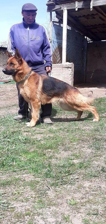 Животные - Кызыл-Суу: Продается кобель чистокровной немецкий овчарки.Есть щен карточка